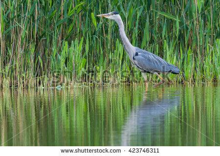 "grey_headed_heron"" Stock Photos, Royalty."