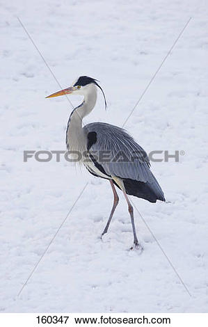 Picture of Grey Heron.