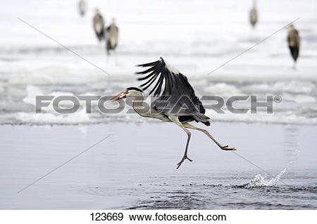 Stock Photograph of grey heron.