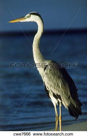 Stock Images of Grey heron (Ardea cinerea) on sandy shore in the.