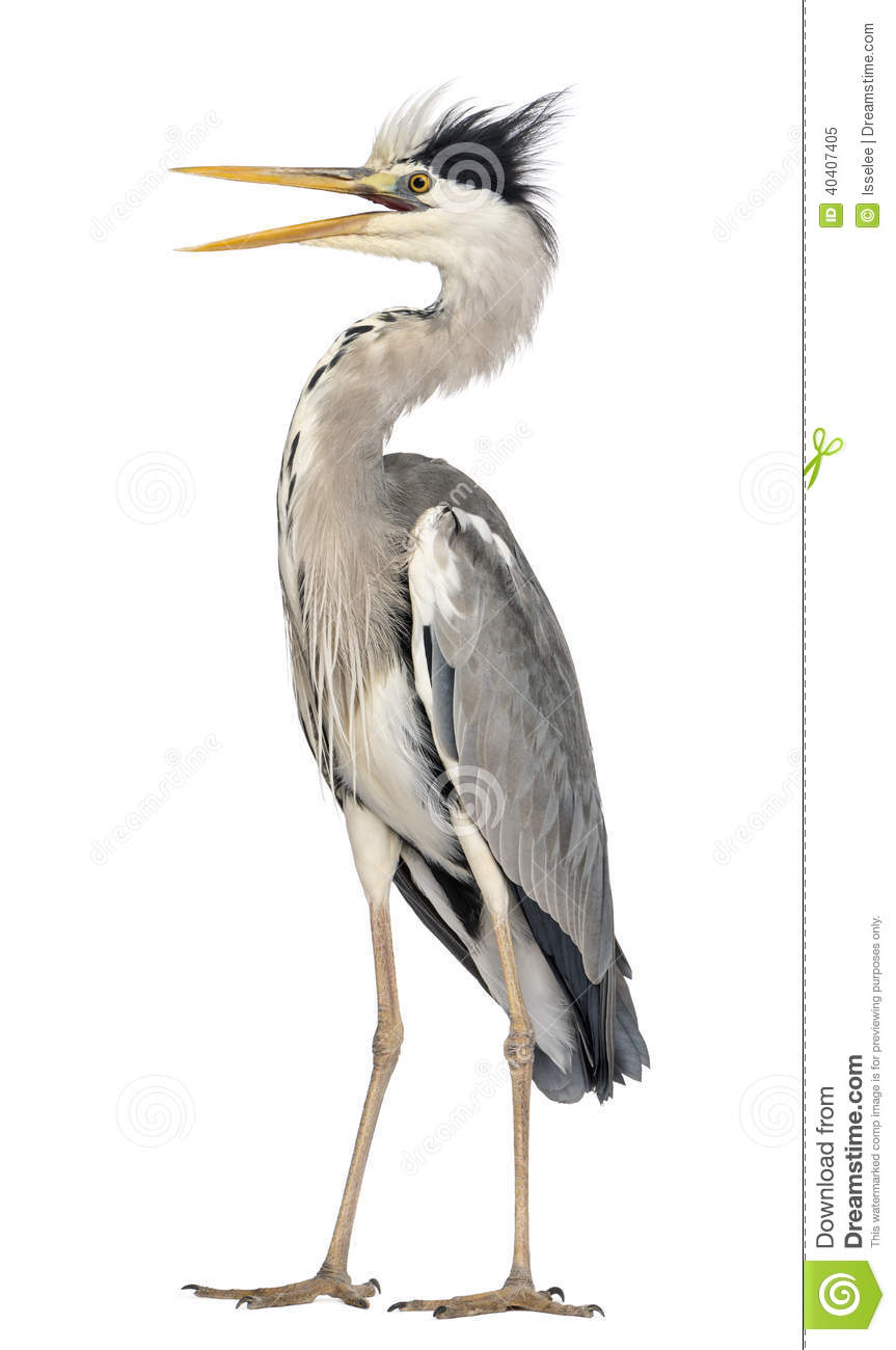 Angry Grey Heron Standing, Screaming, Ardea Cinerea Stock Photo.