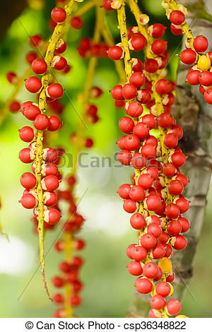 Stock Photo of Effects of Areca catechu.