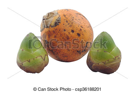 Stock Photography of Close up of unripe coconut and Betel nut or.