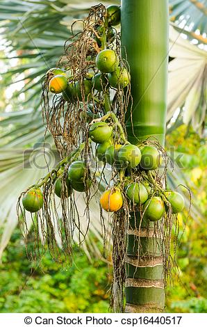 Stock Photography of Closeup ripe areca nut or Areca catechu, raw.