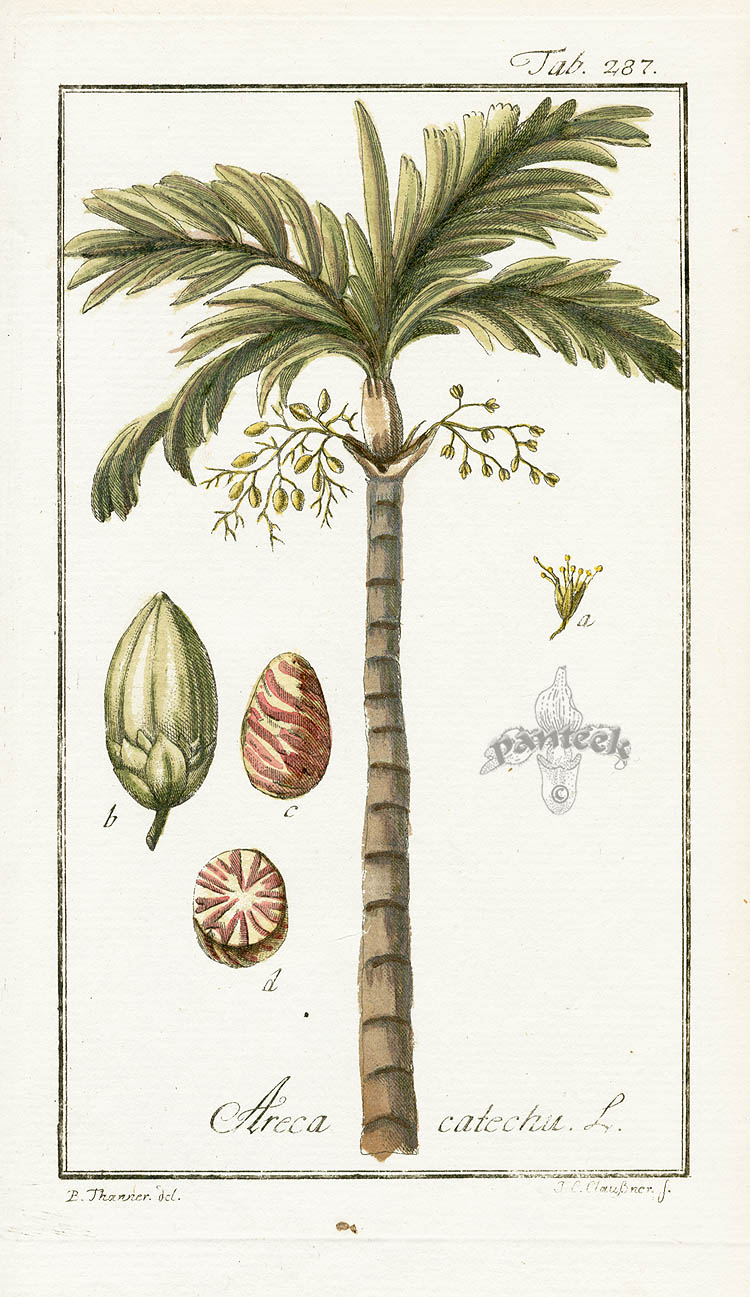 Areca catechu, Palm.