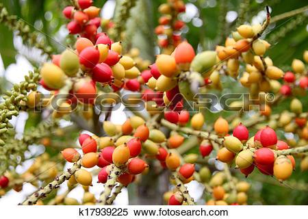Stock Image of Zoom Areca catechu tree in the garden. k17939225.