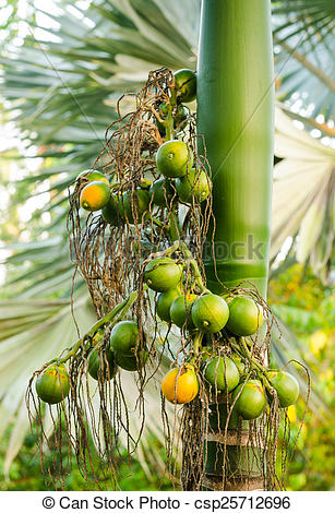 Stock Photographs of Closeup ripe areca nut or Areca catechu, raw.