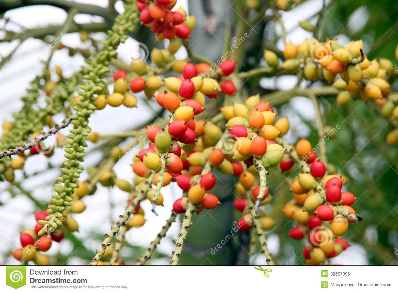 Areca Catechu Tree In The Garden. Royalty Free Stock Photo.