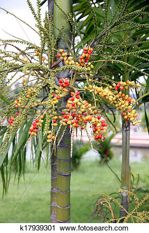 Stock Photography of Areca catechu tree in the garden. k17939301.