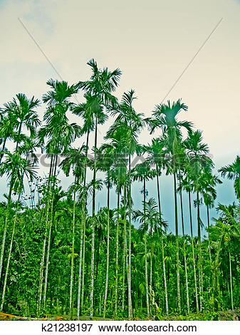 Picture of Areca catechu, Betel palm or Betel nut tree, k21238197.