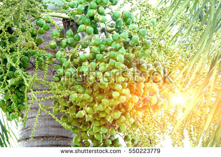 Areca Stock Images, Royalty.