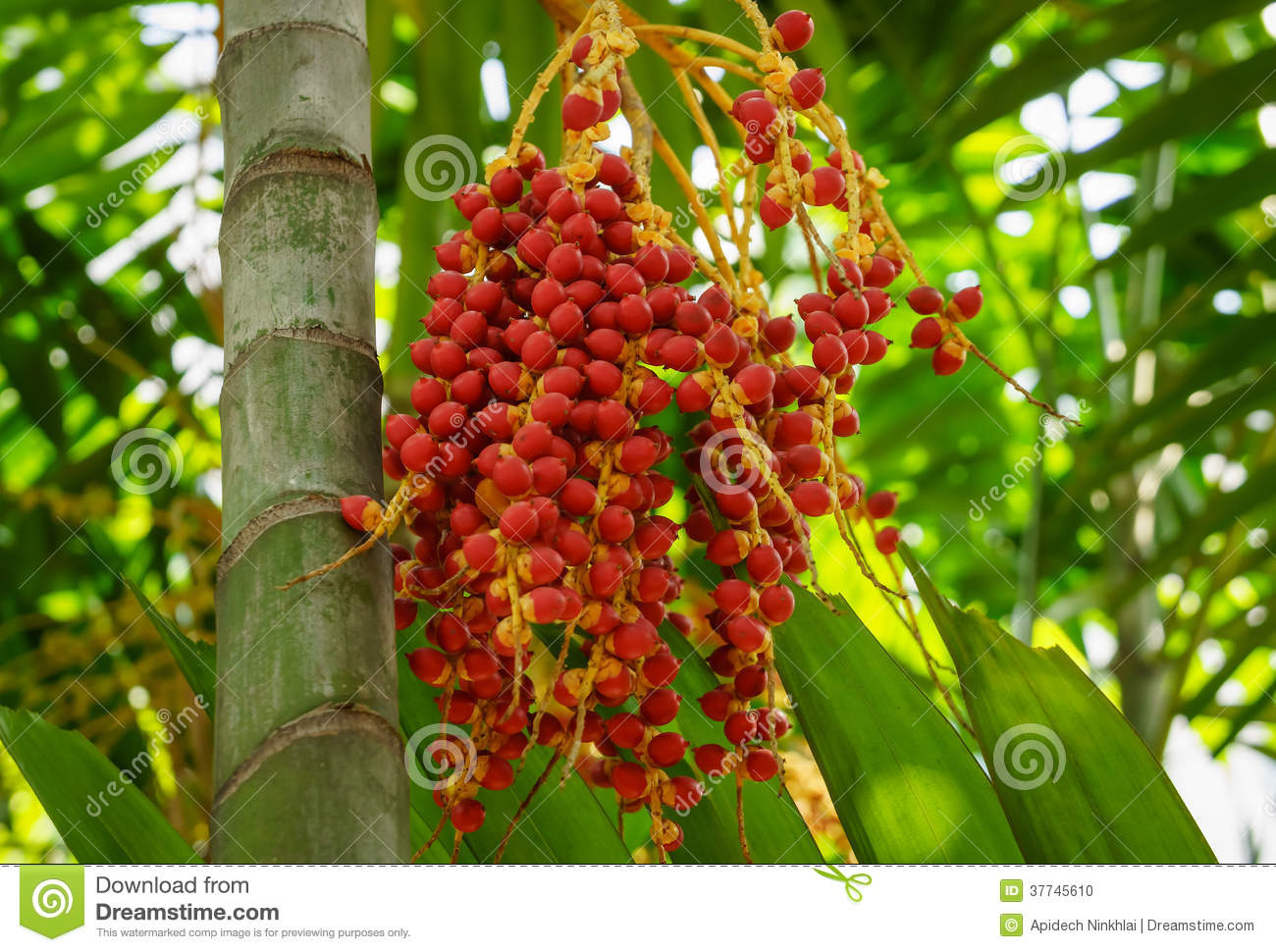 Bunch Of Areca Catechu Fruits Stock Photo.