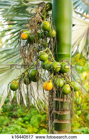 Picture of Closeup ripe areca nut or Areca catechu, raw betel nut.