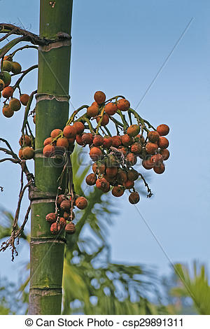 Stock Photography of Areca catechu, Betel palm or Betel nut tree.