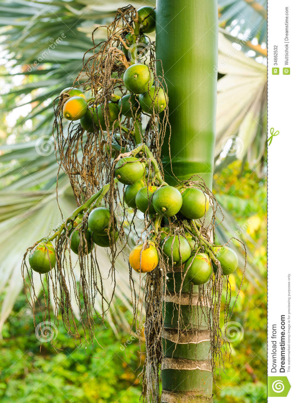 Closeup Ripe Areca Nut Or Areca Catechu, Raw Betel Nut Stock.