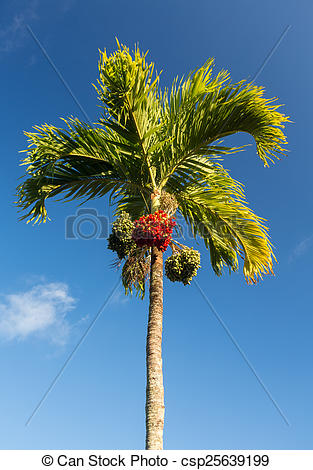 Stock Photographs of Betel Nut tree growing in Kauai.