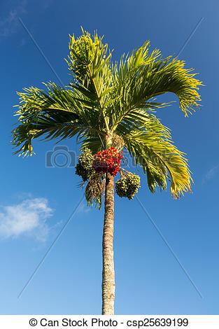 Stock Photographs of Betel Nut tree growing in Kauai.