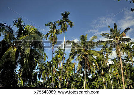 Stock Photograph of areca palm (Areca catechu) & Coconut Palm tree.