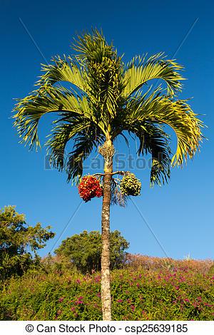 Pictures of Betel Nut tree growing in Kauai.