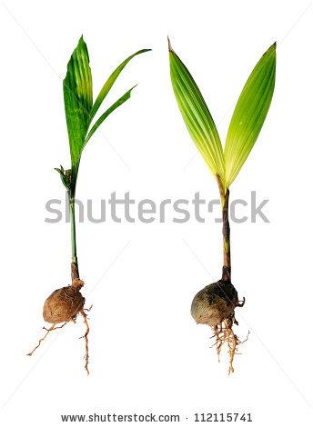 Betel Nut Plant Areca Nut Plant Stock Photo 112115741.