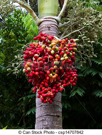 Stock Photo of Red ripe Betel nut palm fruit on tree csp14707842.