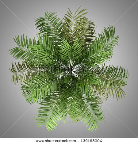 Areca palm clipart #2