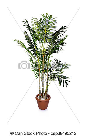Stock Photography of Areca palm isolated on the white background.