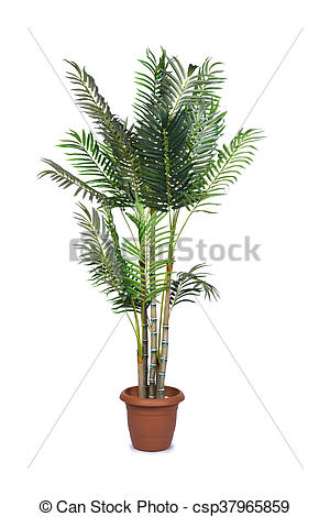 Stock Images of Areca palm isolated on the white background.