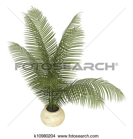 Drawings of Areca palm houseplant k10980204.