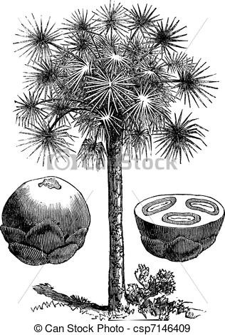 Arecaceae Illustrations and Stock Art. 78 Arecaceae illustration.