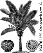 Arecaceae Clip Art Illustrations. 45 arecaceae clipart EPS vector.
