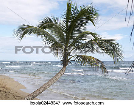 "Picture of ""Palm (Arecaceae) on the beach of Punta Uva, Puerto."
