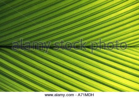 Borassus Flabellifer Stock Photos & Borassus Flabellifer Stock.