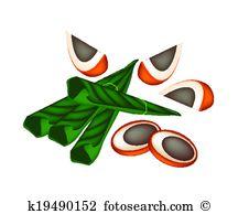 Areca nut Clipart and Illustration. 30 areca nut clip art vector.