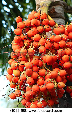 Pictures of Areca Nut Palm k10111588.