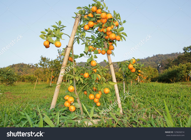 Orange Fruit Tree Orchard Stock Photo 125826014.