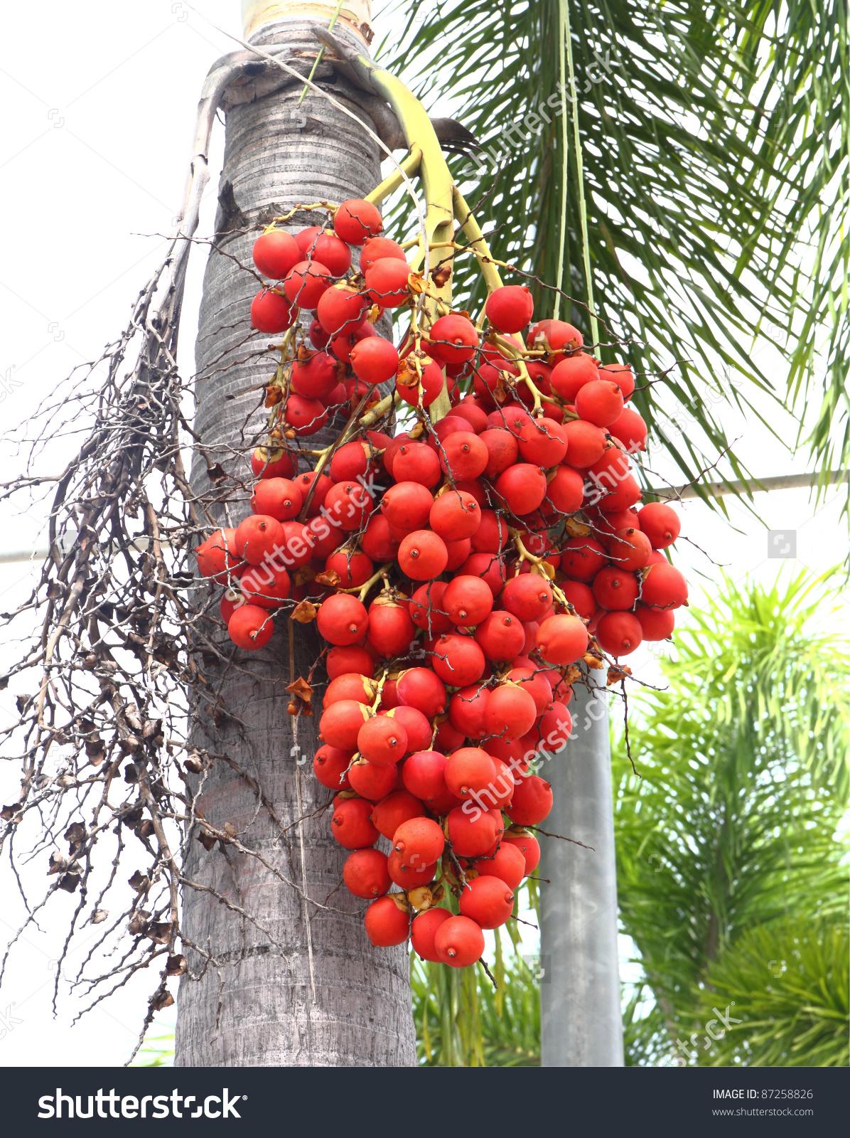 Ripe Betel Nut Areca Nut Palm Stock Photo 87258826.