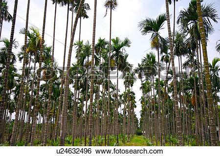 Stock Images of Betel nut trees u24632496.