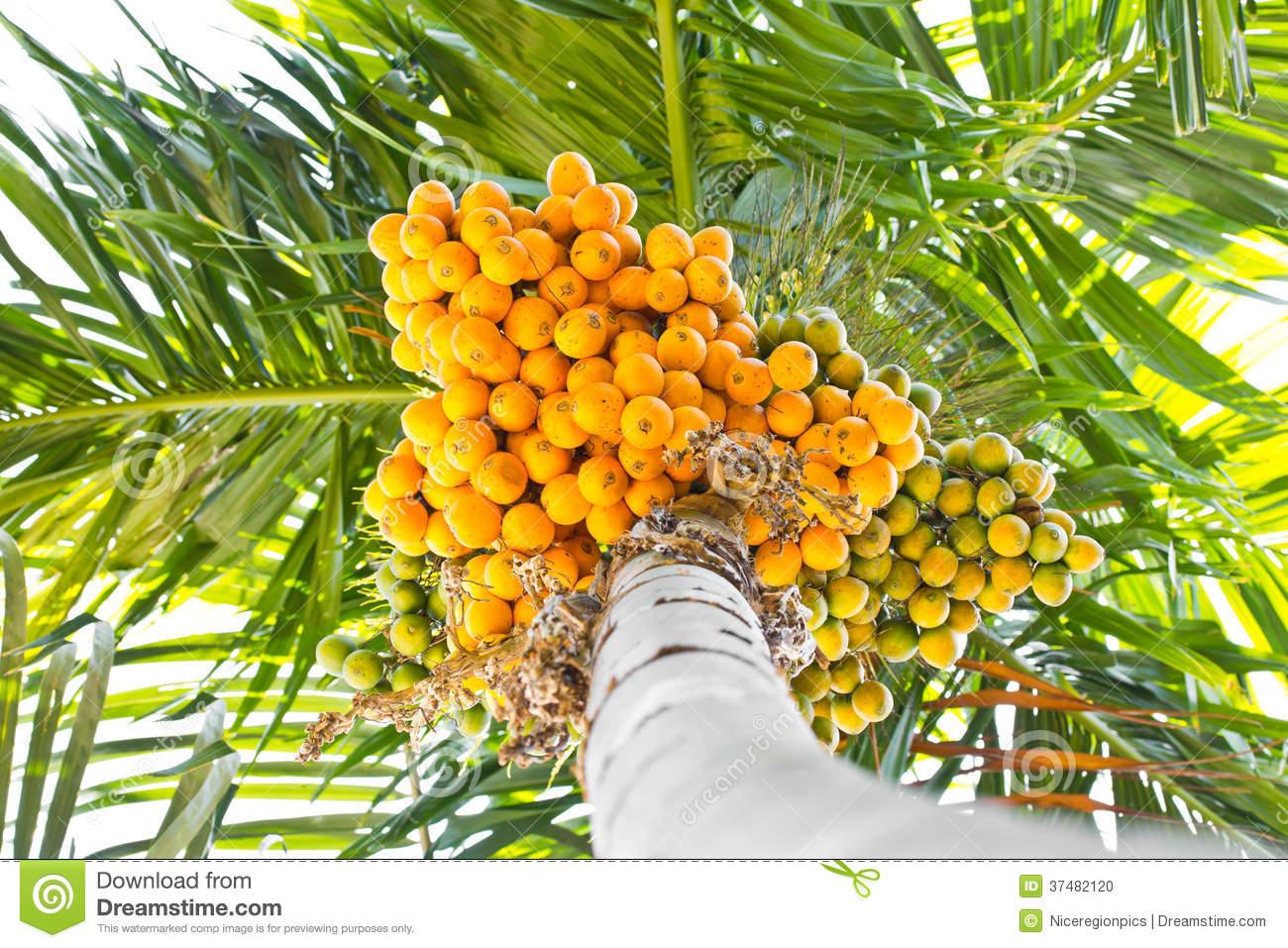 Arecanut tree clipart - Clipground