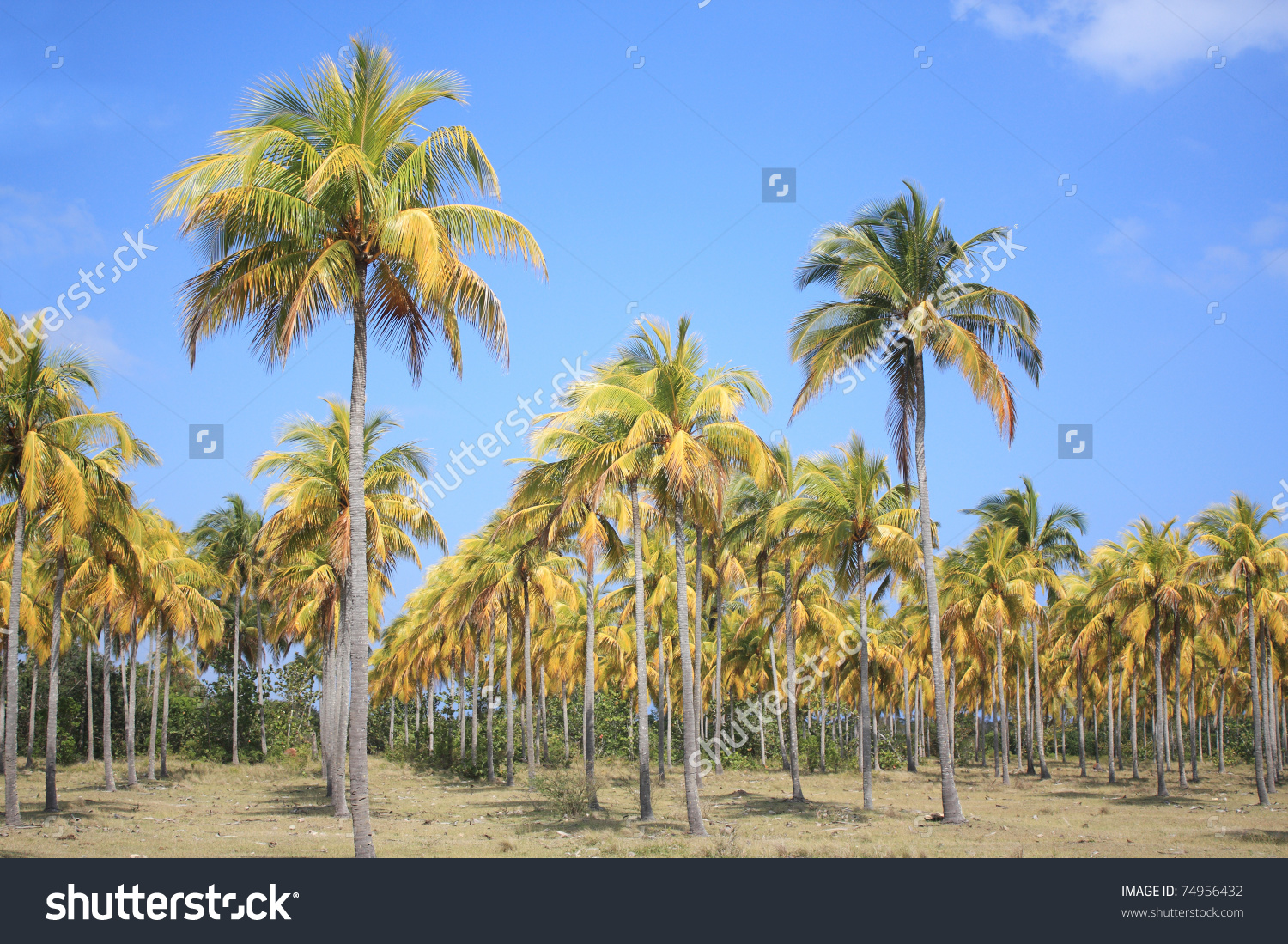 Plantation Of Coconut Palm Trees In Cuba. Stock Photo 74956432.