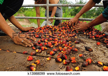 Stock Photograph of fresh palm oil fruit from truck. k13988099.