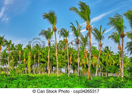 Stock Photography of Coconut tree with fruits.