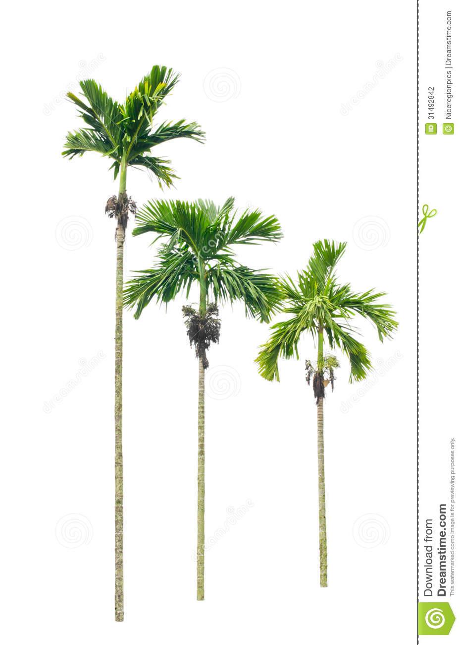 Betel Palm Tree. Stock Photography.
