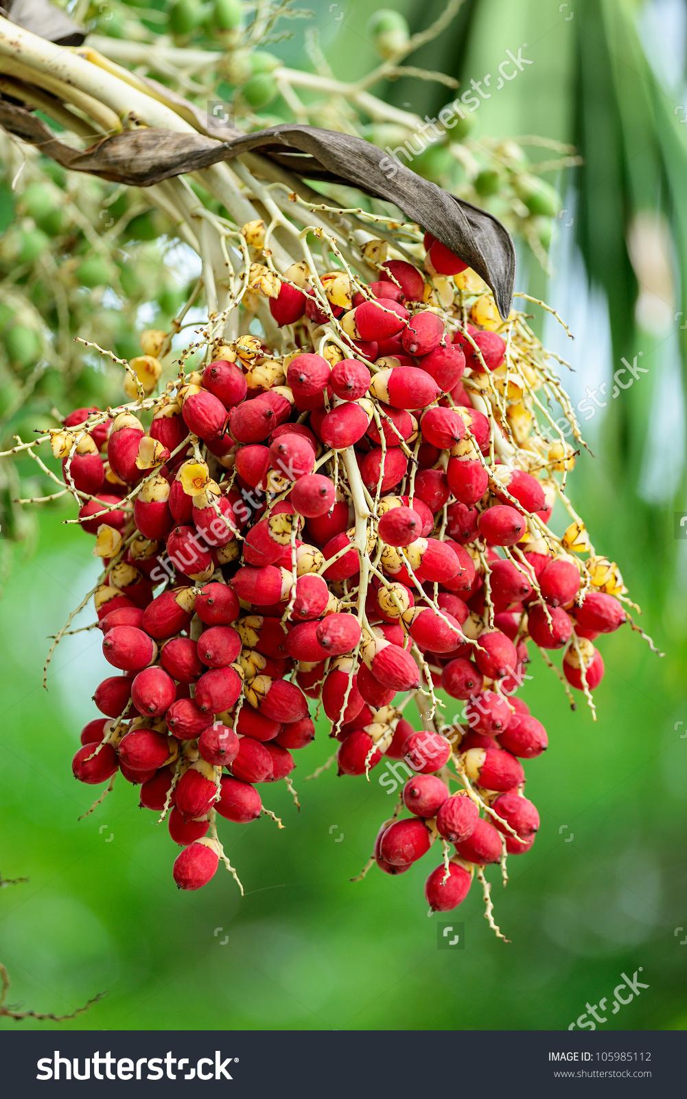 Ripe Betel Nut Areca Nut Palm Stock Photo 105985112.