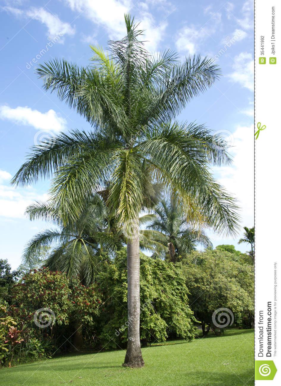 Arecanut Tree, Maui Stock Photography.