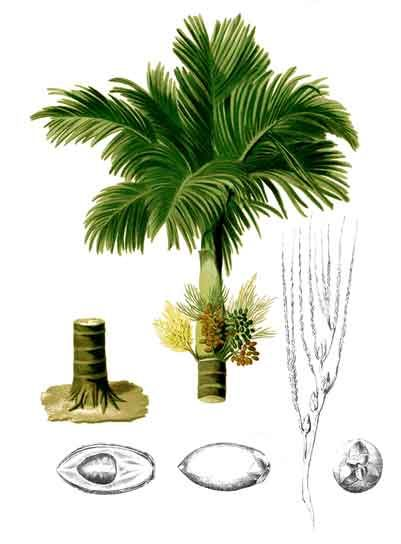 1000+ images about Areca catechu.