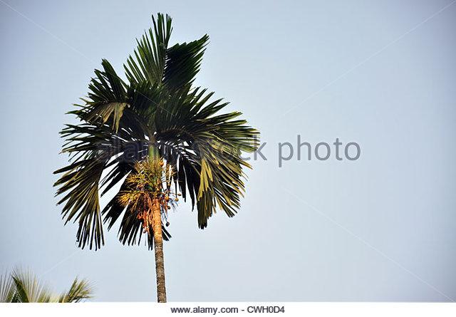 Arecanut Tree Stock Photos & Arecanut Tree Stock Images.