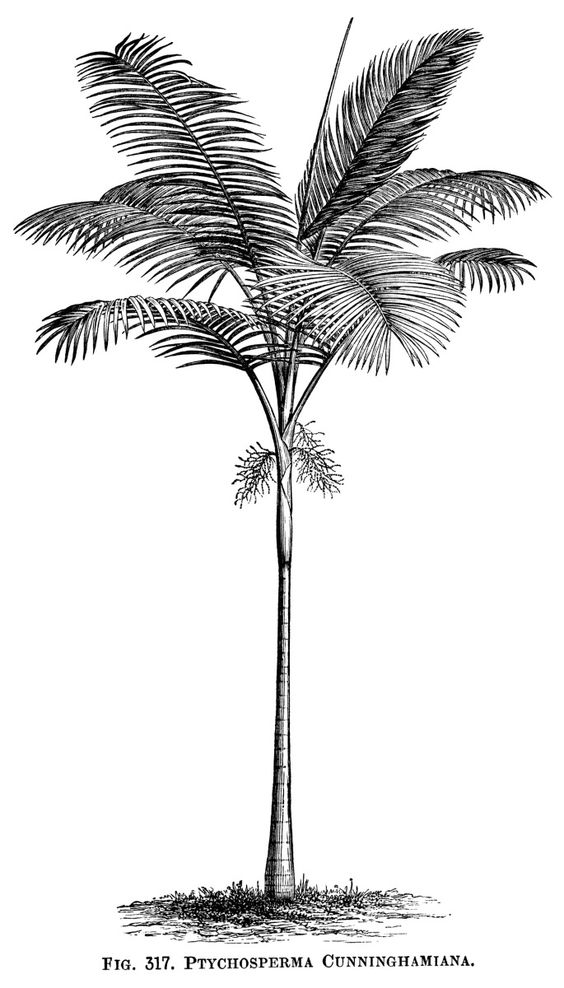 Here is a vintage clip art image of a palm tree. The scientific.