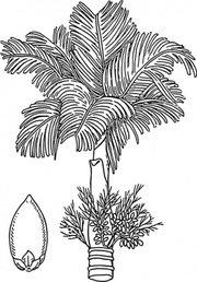 Betel Nut Clip Art, Vector Betel Nut.
