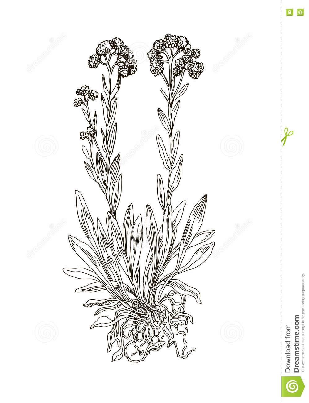 Helichrysum Arenarium. Handdrawn Illustration. Health And Nature.